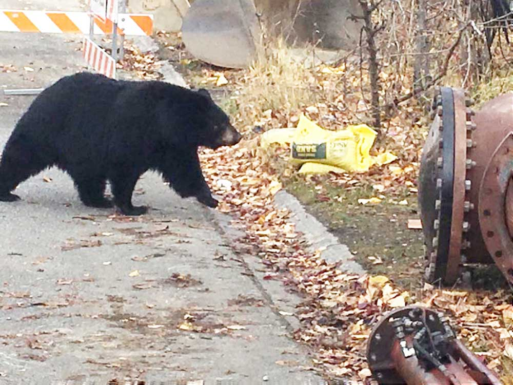 IFT Hangs out with a Mama Bear and her 3 cubs at the jobsite in Anchorage, AK.