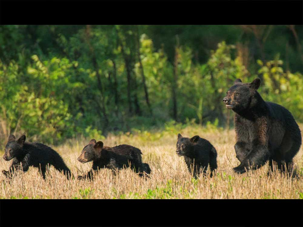 IFT Hangs out with a Mama and her 3 cubs at jobsite in Anchorage, AK.